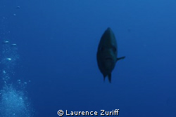 Fish coming toward me.  Off the South Coast of Antigua.  ... by Laurence Zuriff