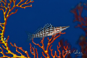 Longnose Hawkfish by Julian Cohen