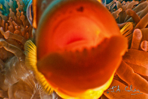 Anemone fish biting the lens by Julian Cohen