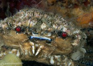 Velvet swimming crab. Menai Straits, N. Wales. D3 60mm. by Mark Thomas