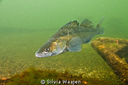 The picture is taken in may 2009 in a freshwaterlake call... by Silvia Waajen