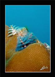 christmas tree worm in Anita's reef - Island 5/6 Similan ... by Adriano Trapani