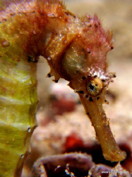 Sea Horse - Shot on compact camera on natural light... by Tim Ho