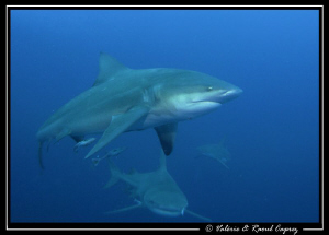 Lunch time in Protea Banks. Ten Bull shark were turning a... by Raoul Caprez