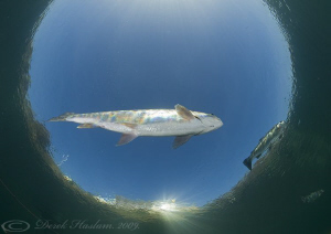 Trout in snells window. D3, 16mm. by Derek Haslam