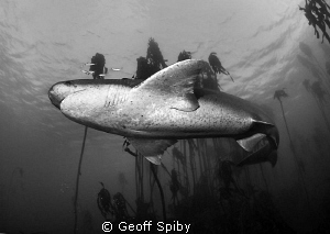 sevengill cowshark, False Bay, Cape Town by Geoff Spiby