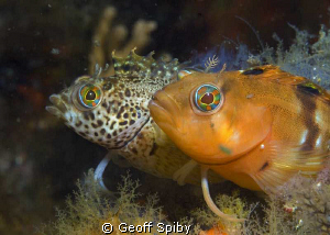 2 different coloured klipfish (clinids) in False Bay, Cap... by Geoff Spiby