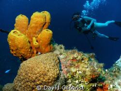 Diver/Sponge off  Cayman Islands by David Gilchrist