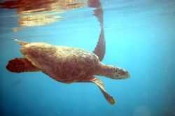 Hawksbill Turtle. Spotted this guy swimming up from the b... by Grant Kennedy