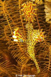 Ornate Ghost Pipefish in its native surroundings by Rick Cavanaugh