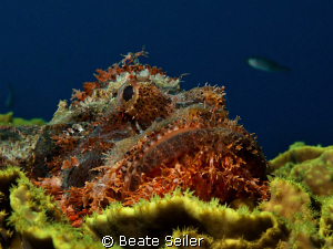 Scorpionfish , taken with Canon G10 at El Quadim by Beate Seiler