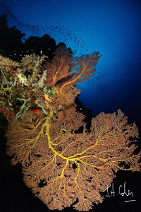 Sea Fan by Julian Cohen