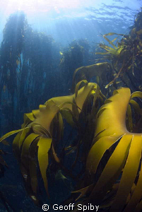 beautiful kelp, Oudekraal, Cape Town by Geoff Spiby