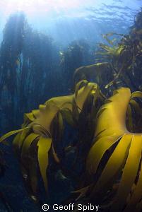 beautiful kelp, Oudekraal, Cape Town by Geoff Spiby