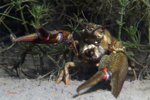 Noble crayfish  (Astacus astacus) by Sven Tramaux