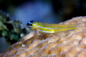 fish resting on coral by Rick Cavanaugh