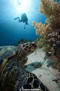 Hawksbill turtle feeding and an underwater photographer s... by Stephan Kerkhofs