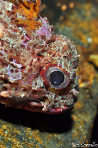 Little red scorpionfish by José Carvalho