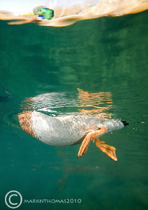 Fish-eye view of a duck. Capernwray, water temp = 3'C. ... by Mark Thomas
