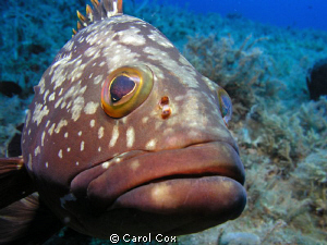 This grouper would not leave me alone.  During the entire... by Carol Cox
