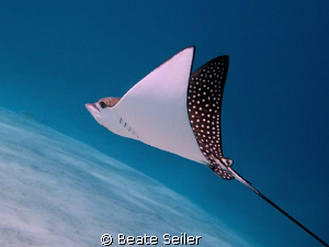 Eagle Ray at El Quadim , taken with Canon G10 by Beate Seiler