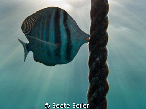 Sailfin Tang , taken with Canon G10 by Beate Seiler
