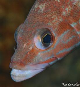 Little grouper close-up by José Carvalho