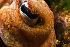 Cuttlefish Eye by Julian Cohen