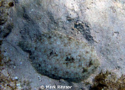 Peacock flounder blending in with the surroundings. by Mark Reasor