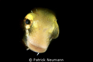 blenny taken with a snoot by Patrick Neumann