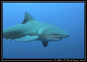The beauty of the Zambezi shark by Raoul Caprez