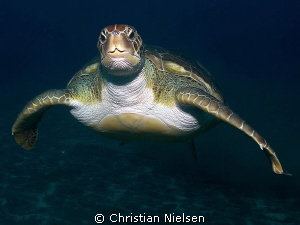 Green Turtle One of the extremely friendly green turtles... by Christian Nielsen