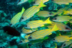 Snappers , These guys were everywhere in the malidives. B... by Grant Kennedy
