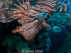 """Just looking"" , Lionfish taken with my Canon G10 at El Q... by Beate Seiler"
