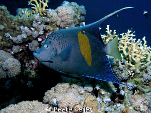 Yellowbar Angelfish, taken at El Quadim with Canon G10 by Beate Seiler