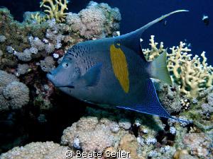 Yellowbar Angelfish, taken at El Quadim with Canon G10 by Beate Seiler