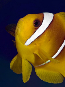 """Anemonefish"" by Henry Jager"