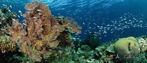 Panorama Reef Scene by Julian Cohen