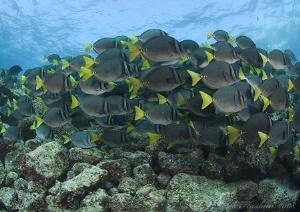 Surgeonfish. Galapagos. D200, 10.5mm. by Derek Haslam