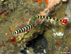 Banded pipe fish (that wouldn't stay still) with eggs.  C... by John Hill
