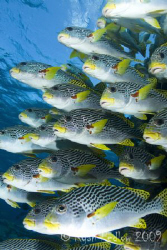 Sweetlips at the Cod Hole, GBR.  Canon 40D, Tokina 11-16,... by Ryan Pedlow