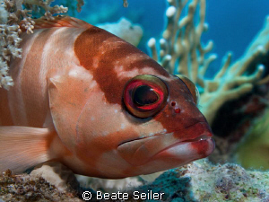 Blacktip Grouper, taken at El Quadim with Canon G10 and U... by Beate Seiler