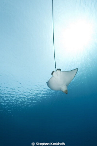 Spotted Eagle Ray taken in Naa'ma bay. by Stephan Kerkhofs