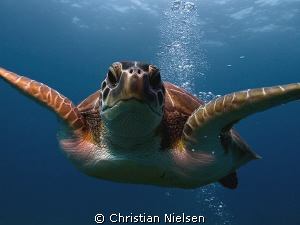 Close to the dome ! Another friendly green turtle on the... by Christian Nielsen