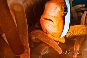 Anemone Fish by Julian Cohen