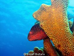 Blackside howkfish by Jozef Butala