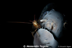 """Little one """"Lysmata laticauda"""" while he cleans up the set... by Alessandro Pagano"""