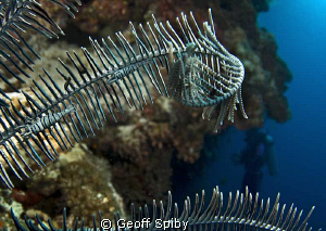 crinoid shrimps on the featherstar with a diver on the wa... by Geoff Spiby