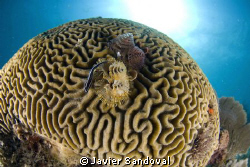 Brain coral with chrismas trees and cleaning goby, taken ... by Javier Sandoval