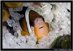 Another clownfish for me this time       FujiS5 pro/105 V... by Yves Antoniazzo